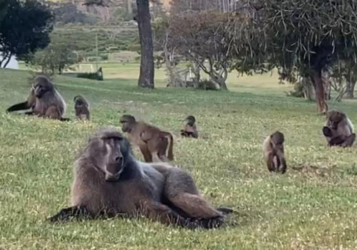 City appoints a new service provider for Urban Baboon Programme